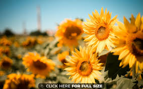 sunflower wallpapers sunflower field 1162 wallpaper