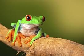 imagenes de animales y cosas 7 fascinantes cosas que quizá no sabías sobre las ranas animales
