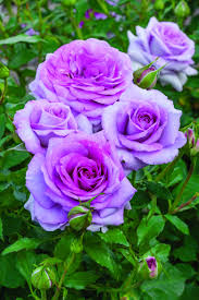 Highly Fragrant Plants New Fragrant And Disease Resistant Roses Are Now Available For