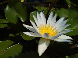 Lotus Flower In Muddy Water - born to be beautiful india