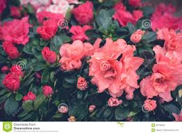pink floral wallpaper stock photo image 68758929