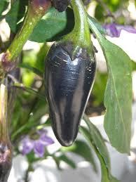 purple jalapeno pepper growing on the vine urban garden