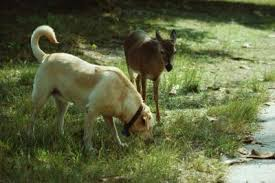 is variegated ribbon grass poisonous to dogs care the