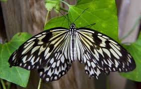 file black and white butterfly 3 7974366219 jpg wikimedia commons