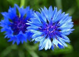 bachelor buttons bulk cornflower bachelor button seeds blue