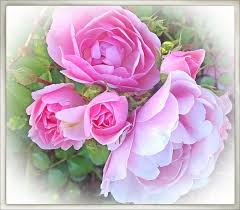 flowers roses roses flower facts photos and symbolic meanings owlcation