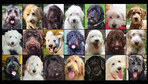 doodle for adoption indiana doodle rescue collective inc labradoodle rescue goldendoodle