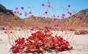 chile u0027s atacama desert is once again covered in wildflower blooms