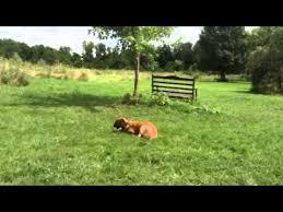 belgian shepherd x greyhound belgian malinois greyhound mix buddy u0026 marley youtube