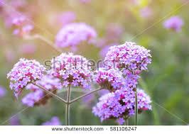 verbena flower verbena stock images royalty free images vectors