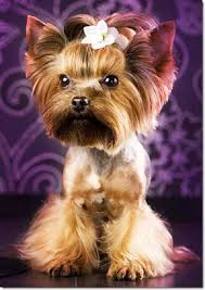 haircuts for yorkie dogs females if you have a yorkshire terrier you are aware of the fact that