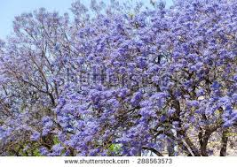 Tree With Purple Flowers Jacaranda Trees Blooming Purple Flowers Jerez Stock Photo