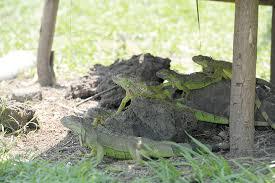 imágenes de iguanas verdes más iguanas verdes para el ambiente la prensa
