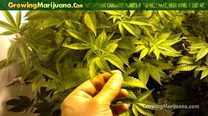Plants That Do Not Need Much Sunlight recovering cannabis plants from high heat high wind and dry air