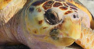 turtle power endangered species spawn on florida beaches