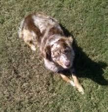 australian shepherd 1 year katie asrm 0140 a delightful 3 year old 45 lb red tri