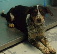 bluetick coonhound louisville ky columbia ky beagle black and tan coonhound mix meet precious