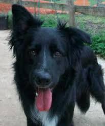 belgian sheepdog border collie mix kennie u2013 1 2 year old male german shepherd cross collie dog for