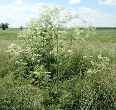 Now Is A Great Time To Control Next Year U0027s Poison Hemlock Ohio