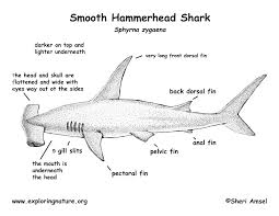shark smooth hammerhead