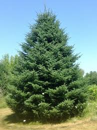 balsam christmas tree how to choose and care for the christmas tree