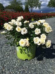 drift roses drift popcorn 3g rosa novarospop latham s nursery