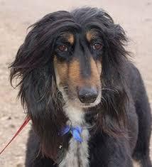 afghan hound black hair scandalface72 jpg