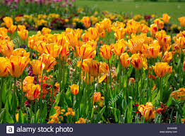 A Garden Of Flowers by Group Of Spring Tulip Flowers In A Garden England Britain Uk Stock