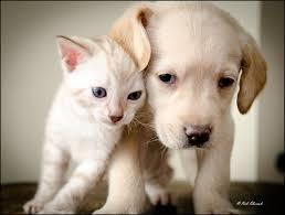 a snow bengal kitten u0026 labrador puppy becoming best friends youtube