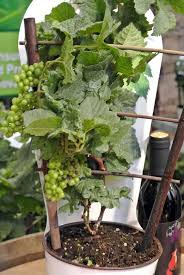 Indoor Vine Plant Growing Grapes In Containers How To Grow Grapes In Pots U0026 Care