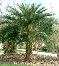 sylvester palm tree sale sylvester date palm tree sylvestris