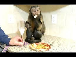 capuchin monkey thanksgiving dinner yum