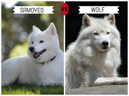 standard american eskimo dog vs samoyed 11 dogs that look like wolves pethelpful