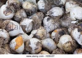 ornamental bulbs stock photos ornamental bulbs stock