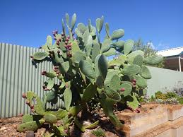 native plants south australia 5 plants you shouldn u0027t grow good living