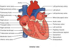 Simple Anatomy And Physiology Heart Anatomy Anatomy And Physiology Ii