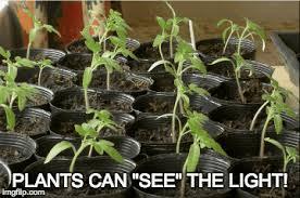 phototropism experiment how plants