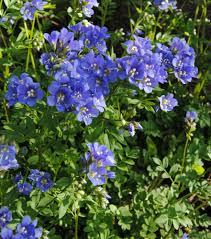 native plants in pennsylvania jacob u0027s ladder polemonium reptans is beautiful and care free in