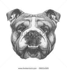 bulldog face stock images royalty free images u0026 vectors