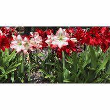 bloomsz garden amaryllis mixed colors flower bulbs 12pk