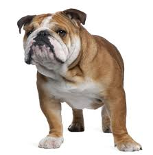 Animal Trainers Salary Bulldog Skull Evolution U2013 What Have We Done To These Dogs