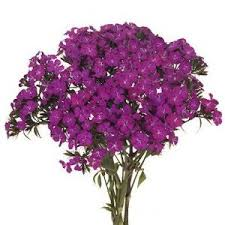 dianthus flower fuchsia purple flower