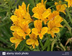 peruvian lilies golden yellow peruvian lilies flowers collection