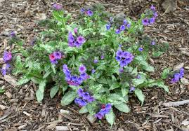 backyard patch herbal blog lungwort herb of the week