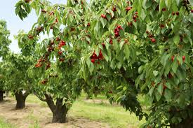 cherry tree types what are some common varieties of cherry trees