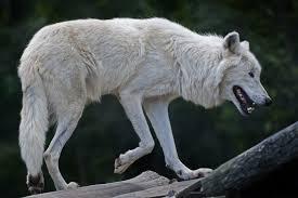 australian shepherd wolf mix wulfdoges