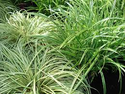 ornamental grasses and sedges for shade and deer resistance