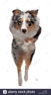 australian shepherd jumping fence dog jumping camera stock photos u0026 dog jumping camera stock images
