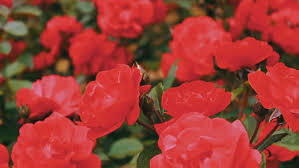 pink roses in the park flower garden tender roses growing in the