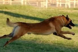 belgian shepherd killed police kill dogs stop this now